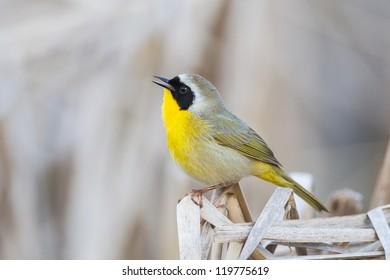 Common Yellowthroat perched on marsh reed