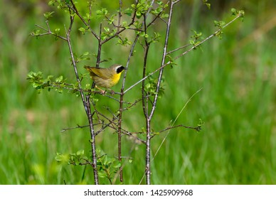 Common Yellowthroat Perched on Tree Branch in Spring