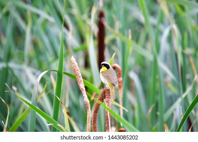 A Common Yellowthroat perching on the spikelet.                      Iona Island Richmond BC Canada