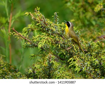 Common Yellowthroat Singing from the  Juniper in Spring
