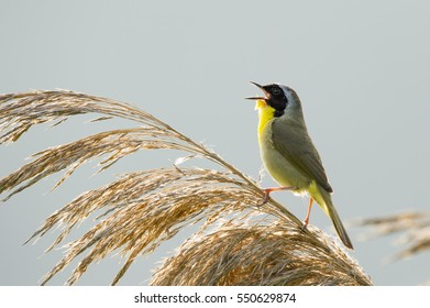 A Common Yellowthroat sings loudly in the morning sun as it sits perched on Phragmite grass.