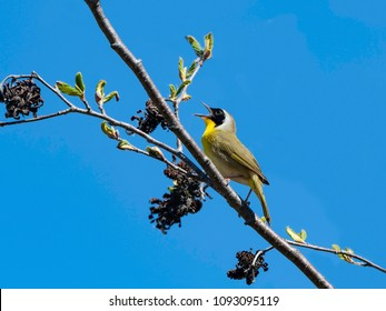 Common Yellowthroat in Spring on Blue Sky