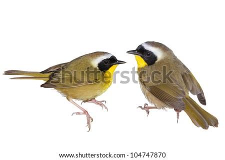 Common Yellowthroat warbler. Latin name - Geothlypis trichas. Isolated. Focus on birds!