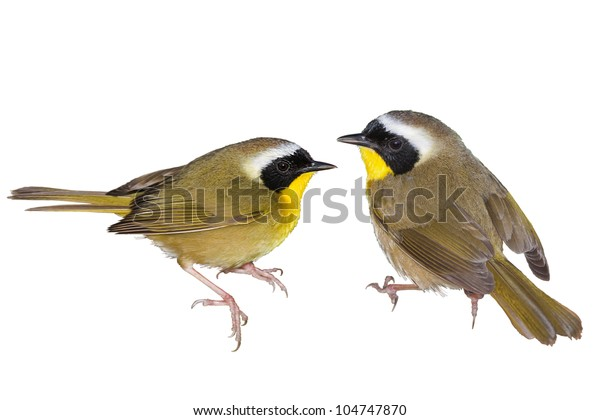 Common Yellowthroat warbler. Latin name - Geothlypis trichas. Isolated. Focus on birds!