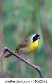 Common Yellowthroat Warbler, male in breeding plumage