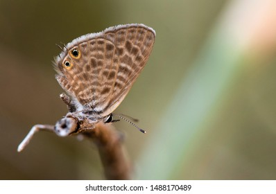 Common Zebra Blue or Lang's short-tailed blue, Leptotes pirithous., Andalusia, Spain.