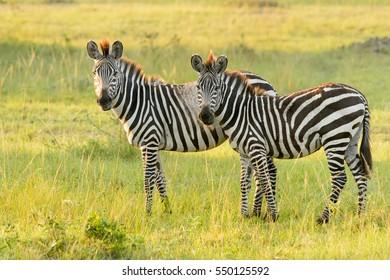 Common Zebra (Equus quagga) - Read between the Lines