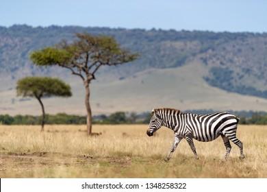 Common zebra, Equus Quagga, walking across the grasslands of the Masai Mara, Kenya. Side view with acacia trees and the Oloolol escarpment beyond..