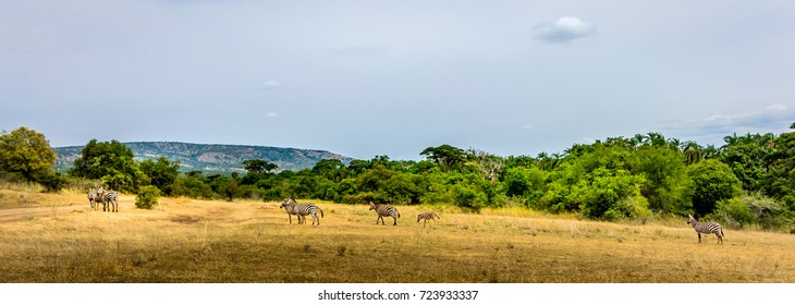Common zebras (Equus Quagga)  in Akagera National Park, green forest, beautiful landscape, Rwanda, Africa, wide format
