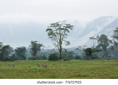 Common zebras grazing at edge of Lerai Forest during the rainy season, Ngorongoro Crater, Tanzania