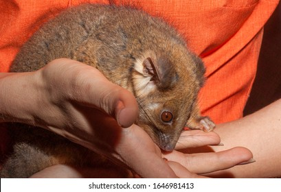 Commonly found in forests, woodlands and leafy gardens across eastern NSW, the Australian ringtail possum is a tree-dwelling marsupial.