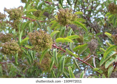 Commonly known as Laurel Sumac, and botanically as Malosma Laurina, this Southern California native plant grows in Ballona Freshwater Marsh of Los Angeles.