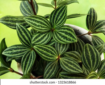 Peperomia puteolata is commonly known as the parallel peperomia or watermelon peperomia in terms of the leaf pattern resembling the rind of a watermelon.