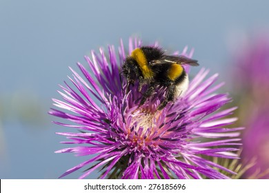 Commun Bee, polizating a Carpobrotus edulis, succulent plant, creeping, native to Cape region in South Africa in regions such as Mediterranean, Australia and California, has become an invasive species