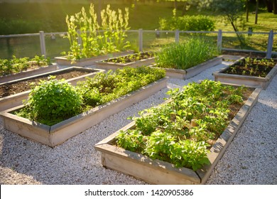 Community kitchen garden. Raised garden beds with plants in vegetable community garden. Lessons of gardening for kids.