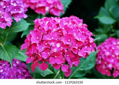 Como, Lombardy / Italy - June 23 2018: Pink hydrangea, also known as hortensia.