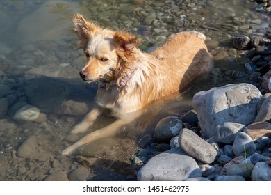 companion dog bathes along the waters of a river