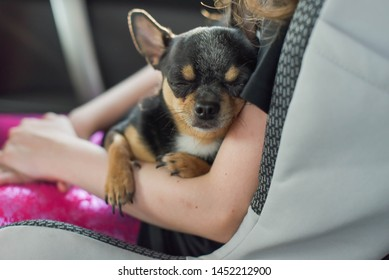 companion dog sitting in the car. Chihuahua dog in the car in the hands of a little girl. Chihuahua dog black and brown and white. The girl in the car seat holding a chihuahua. Dog man friend