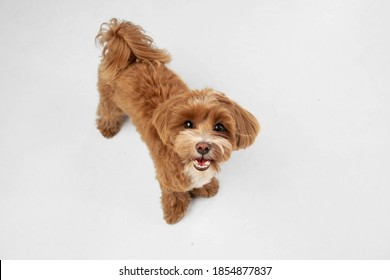 Companion. Maltipu little dog is posing. Cute playful braun doggy or pet playing on white studio background. Concept of motion, action, movement, pets love. Looks happy, delighted, funny. - Shutterstock ID 1854877837