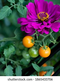Companion planting of amethyst zinnia with sun gold cherry tomatoes are a perfect combination. Zinnias deter cucumber beetles and tomato worms. They attract predatory wasps and hover flies.