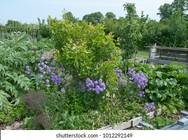 Companion Planting on an Allotment in Rural Somerset, England, UK