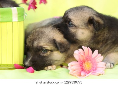 The company of newborn little puppies on a light green background with a decorative box and a multi-colored Gerbera.