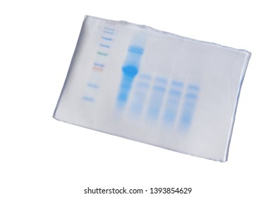 Comparision band in SDS PAGE electrophoresis gel for drying on white background. Protein determination.