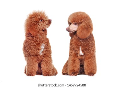 Comparison of brown poodle before and after grooming at the white background