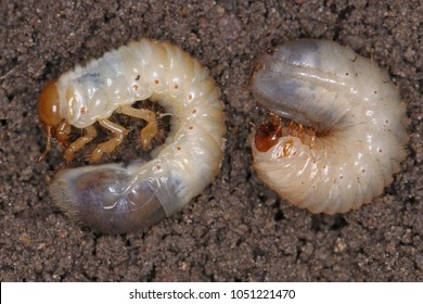 Comparison of larvae of Scarabaeidae. In left larva of the May beetle Common Cockchafer or May Bug (Melolontha melolontha). In right Cetonia aurata called the rose chafer or the green rose chafe.