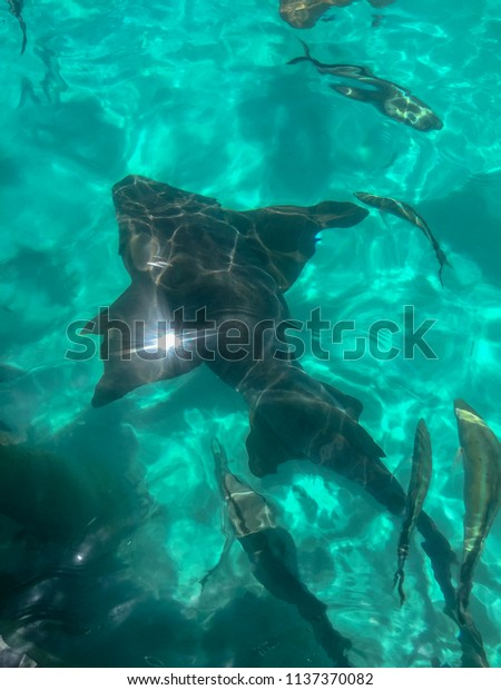 Compass Cay Bahamas Nurse Sharks Elasmobranch Stock Photo