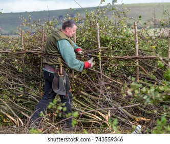 Competitor at the 39th National Hedge laying Championships which took place at Stourhead, Wiltshire, UK on 28 October 2017