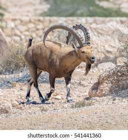 Competitor alpha-males vying for leadership in the herd of nubian ibex (Capra nubiana) in Mizpe Ramon - Israel