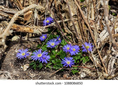 COMPIEGNE, FRANCE - APRIL 7TH, 2018. Anemones with blue flowers, surrounded by branches, in the field of the castle of Compiegne.