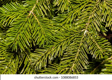 COMPIEGNE, FRANCE - APRIL 7TH, 2018. Close-up of branches of fir tree, in the field of the Castle of Compiegne.