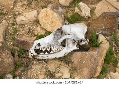 a complete bleached canine skull profile found on a desert hike in the winter near Arad in the Negev Desert of Israel
