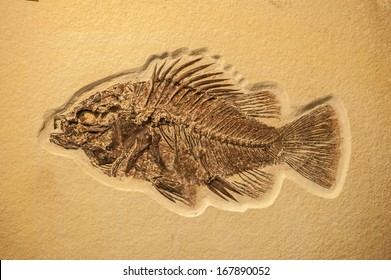 Complete fish fossil embedded in lime stone