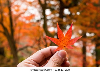 Complete Maple leaves change color in Japan autumn in human hand. Yellow maple tree leaves in autumn of Japan. Japanese autumn leaves.