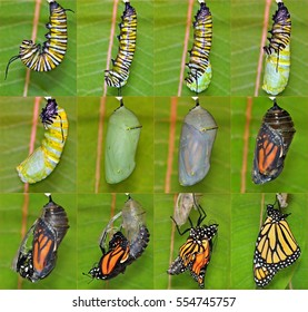 A complete twelve step Monarch butterfly metamorphosis (Danaus plexippus).