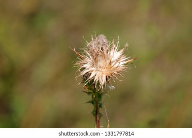 Completely open Greater burdock or Arctium lappa or Edible burdock or Lappa or Gobo or Beggars buttons or Thorny burr or Happy major biennial plants flower head with fully disposed seeds