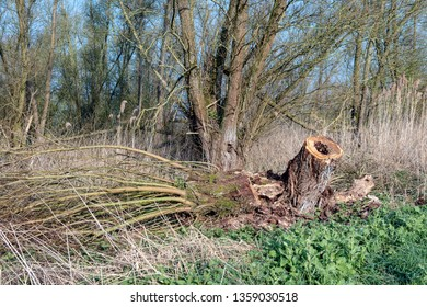 Completely  topped old pollard willow tree in the Dutch  nature reserve National Park Biesbosch, North Brabant. The photo was taken early in the morning in the beginning of the spring season.