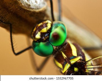 The complex structure of a Common Tigertail Dragonfly eyes gives this large air-borne predator neatly 360 deg vision. The Tigertail female lays her eggs in the water whilst still in flight.