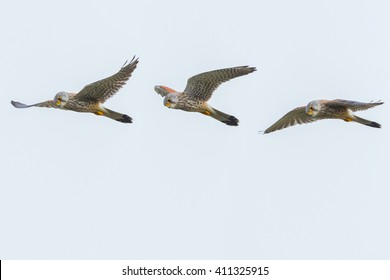 a composed image of a flying common kestrel while hovering in mid air searching for mice to eat. It shows the movement of it's wings.