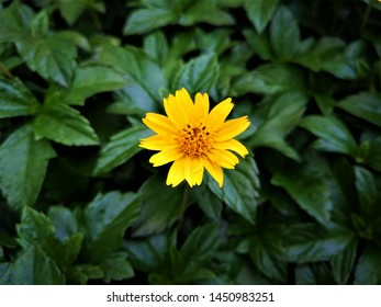 Compositae asteraceae also known as treasure flower and member of the daisy family blooming
