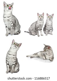 composite group of egyptian mau cats in various poses.