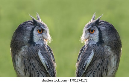 A composite image of a white faced scops owl duplicated so it appears a mirror image and facing each other. Taken against a green background with copy space