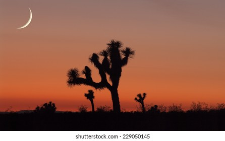 Composite of Joshua Tree silhouettes and young moon setting at sunset. Abstract image.
