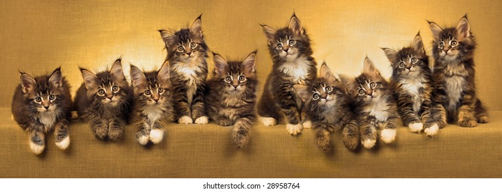 Composite pano panorama of 10 Maine Coon kittens in a row, with golden color treatment