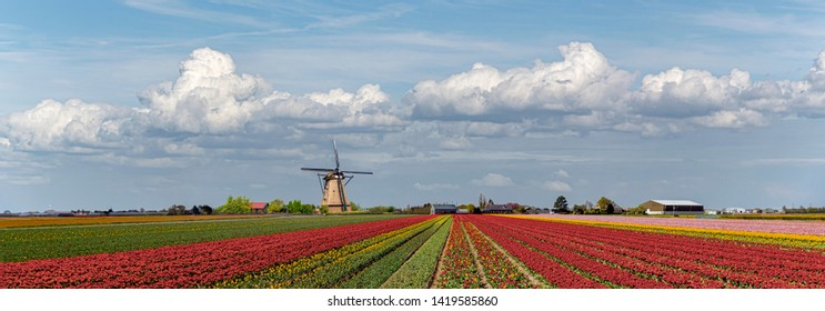 Composite panoramic image creating the concept of the iconic Dutch landscape during the tulips and spring season around the country with multi-color tulip bulb farm and windmill everywhere