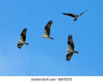 a composite of several images creating a group of Osprey on a blue sky