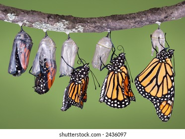 A composite of various views of a monarch emerging from a chrysalis.
